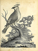 Ampelis - The Crested Chatterer of America Copperplate engraving From the Encyclopaedia Londinensis or, Universal dictionary of arts, sciences, and literature; Volume I;  Edited by Wilkes, John. Published in London in 1810