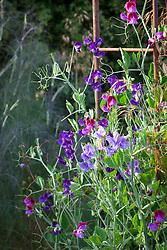 Lathyrus odoratus 'Matucana', 'Lord Nelson' and 'Heathcliffe'. Sweet peas