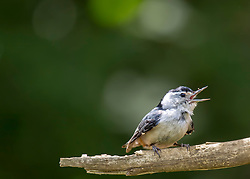 This little nuthatch woke me bright and early chirping for his mamma for what seemed like forever. For those of you whom have never heard the chatter of a nuthatch, it's not exactly a soothing sound...
