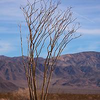 USA, California, Joshua Tree. Ocotillo Cactus