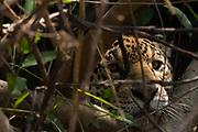 A jaguar, Panthera onca, hiding and waiting for a prey.