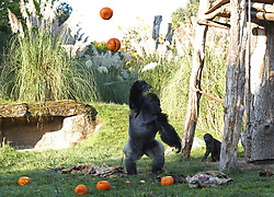 Kumbuka the silverback gorilla throws pumpkins in the air during a photo call ahead of Halloween, at London Zoo.