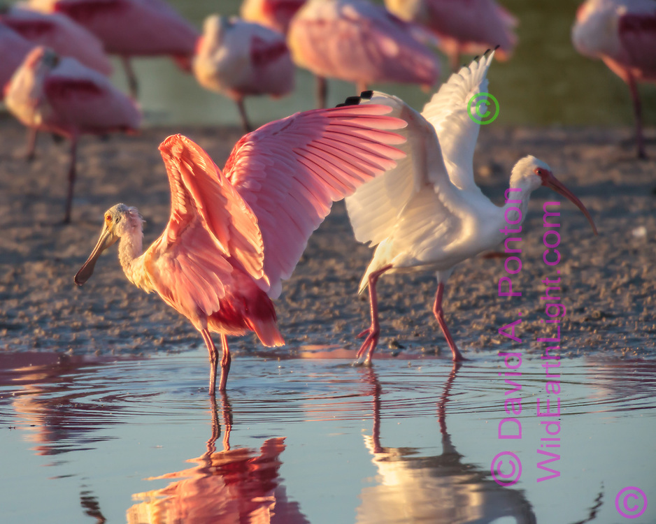 Roseate spoonbill and white ibis pass each other with wings up, © David A. Ponton