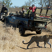 A leopard passes by a Range rover, Malamala, Game Reserve, South Africa.