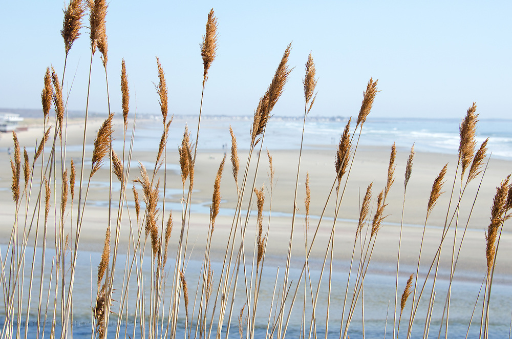 Golden beach grasses in front of a panoramic view of the broad beach at Ogunquit, Maine.