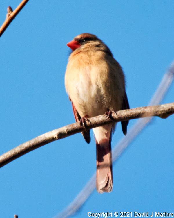 Northern Cardinal (Cardinalis cardinalisr). Image taken with a Nikon 1 V3 camera and 70-300 mm VR lens.