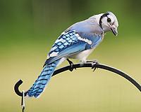 Blue Jay. Image taken with a Nikon D5 camera and 200-500 mm f/5.6 VR lens.
