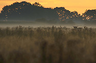 Highland cattle, Tauros/Aurochs breeding site run by The Taurus Foundation, Keent Nature Reserve, The Netherlands