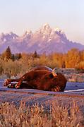Bison Killed by Motorist, Grand Teton National Park, Wyoming