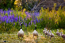 """""""Geese at Lake Forest, Tahoe""""- This family of Canadian Geese was on its way to breakfast at Lake Forest Beach Park."""