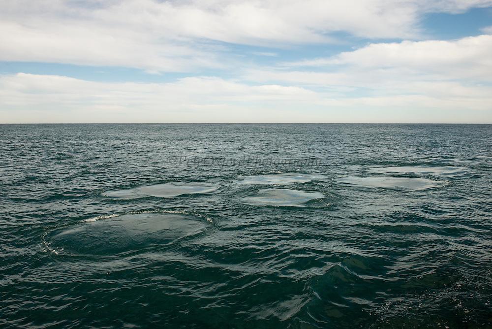 Humpback Whale footprint (Megaptera novaeangliae)<br /> Sardine run,<br /> Eastern Cape<br /> SOUTH AFRICA
