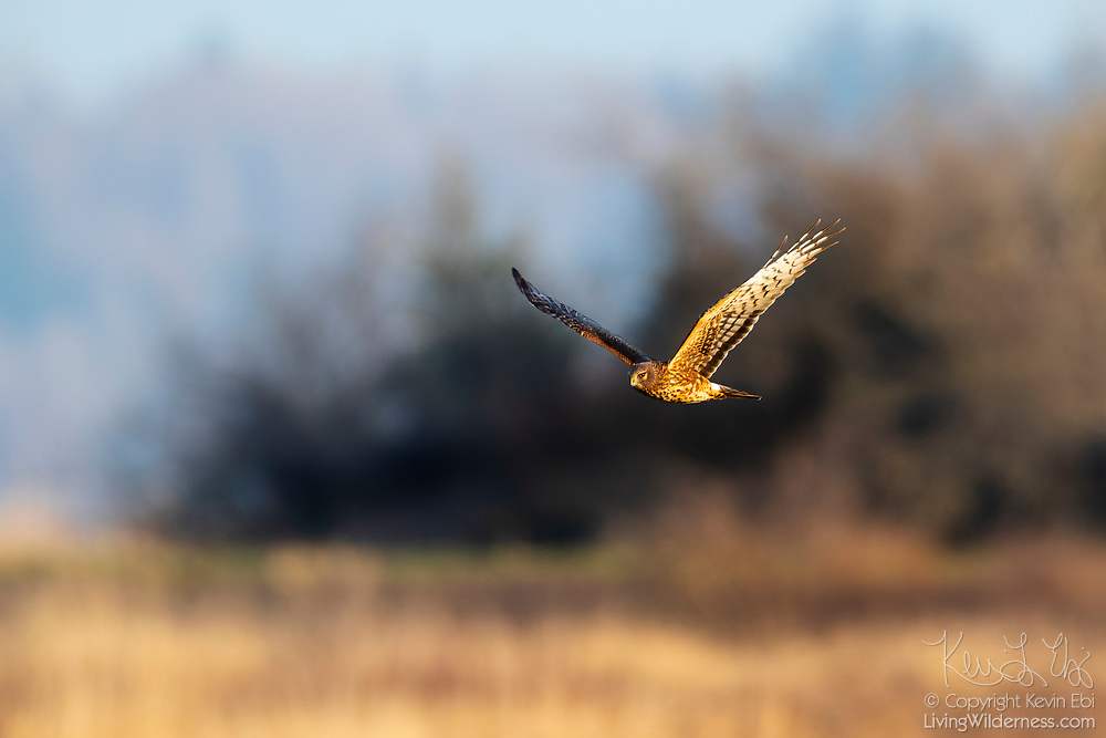 A red-tailed hawk (Buteo jamaicensis) flies over a field to hunt near Edison, Washington.