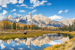 The Grand Teton landscape becoming more grand with the arrival of a male and female moose at breeding time.   The Grand Tetons reflectining the the calm waters of Shwabacker Landing, a side channel of the Snake River of Jackson Hole Wyoming.