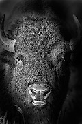 Artistic effects applied to a photograph of a bull bison during the fall rut in Grand Teton National Park.