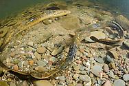 Sea Lamprey (Spawning Pair)<br /> <br /> Sean Landsman/Engbretson Underwater Photography