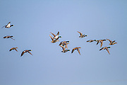 Mallard (Anas platyrhynchos) flock of male and female in flight. Photographed in Israel, in January