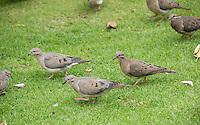 Eared Doves, Zenaida auriculata, in Plaza Grande, Quito, Ecuador