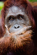 A male orangutan (Pongo pygmaeus) covers his mouth with his hand as if in deep contemplation, Borneo, Indonesia