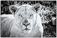 06-11-2017 Foto's genomen tijdens een persreis naar Buffalo City, een gemeente binnen de Zuid-Afrikaanse provincie Oost-Kaap. Inkwenkwezie Private Game Reserve - Witte leeuwin