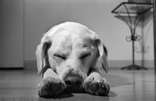 white dog sleeping on floor with nose between paws