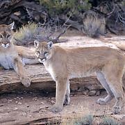 Mountain Lion or Cougar, (Felis concolor) Pair in Utah. Captive Animal.