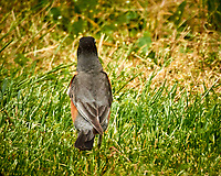 American Robin hunting for a worm. Image taken with a Nikon N1V3 camera and 70-300 mm VR lens (ISO 400, 300 mm, f/5.6, 1/800 sec).