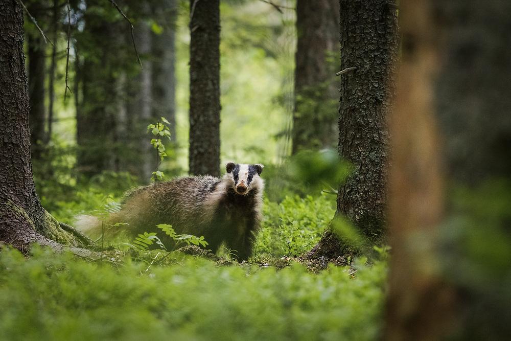 Badger (Meles meles) in coniferous forests undergrowth, Vidzeme, Latvia Ⓒ Davis Ulands   davisulands.com