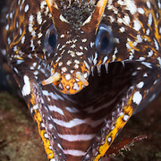 Dragon moray eel living among boulders and rock formations off the east coast of the Izu Peninsula in Japan. These charismatic eels are common in the area, so much so that local divers ignore them.