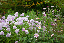Phlox × arendsii 'Luc's Lilac' AGM with Anemone × hybrida 'Loreley'
