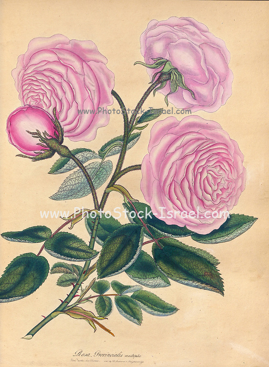 ROSA Provincialis, multiplex. Double or Cabbage Province Rose From the book Roses, or, A monograph of the genus Rosa : containing coloured figures of all the known species and beautiful varieties, drawn, engraved, described, and coloured, from living plants. by Andrews, Henry Charles, Published in London : printed by R. Taylor and Co. ; 1805.