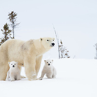Polar Bear mother with her two month old cubs curiously surveying the area as they prepare to make the trek from Wapusk National Park to Hudson Bay.