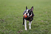 This is Lucy, a young Boston Terrier