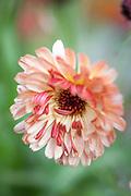 Calendula officinalis 'Touch Of Red Buff' - pot marigold