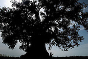 Silhouette of person sitting under large baobab tree, Ghana.