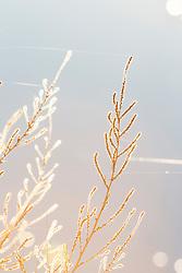 Backlit vegetation, Bosque del Apache, National Wildlife Refuge, New Mexico, USA.