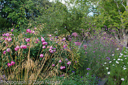 Rosa 'Royal Jubilee'  - Pink English Rose by David Austin with Stipa gigantea, Verbena bonariensis and Cosmos 'Purity' and Cosmos bipinnatus 'Psyche Rose Picotee' -  September