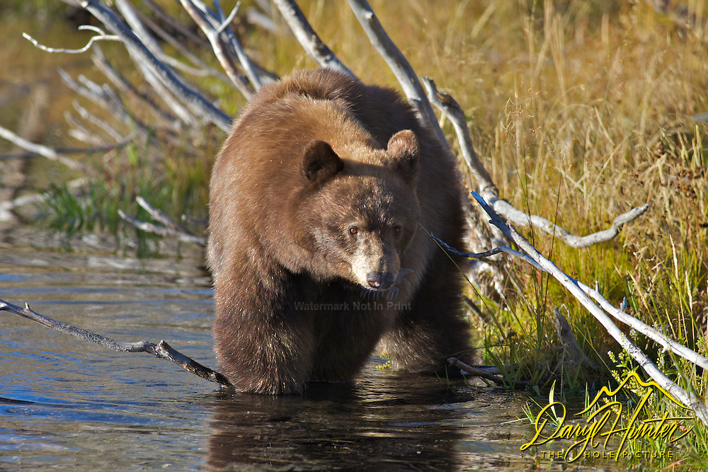 Black Bear getting a drink to wash down his Choke Cherries he has been feasting one in Grand Teton National Park.