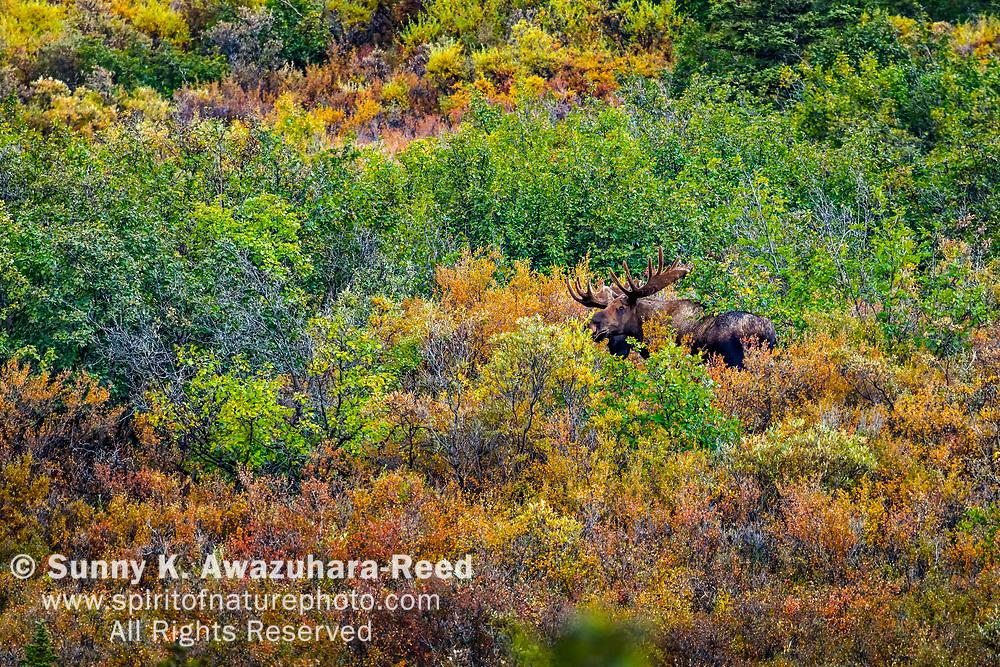 Bull Moose poking at fall color tundra. Denali National Park & Preserve, Interior Alaska, Autumn.