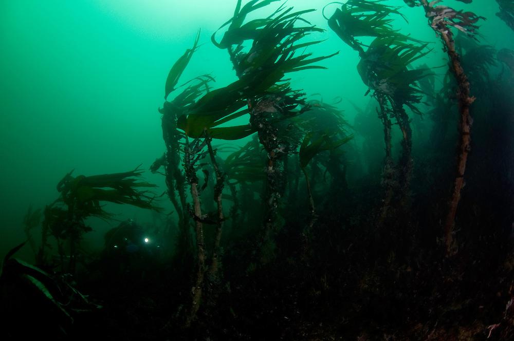 Kelp, Laminaria hyperborea, Klas Malmberg<br /> Atlantic marine life, Saltstraumen, Bodö, Norway<br /> Model release by photographer