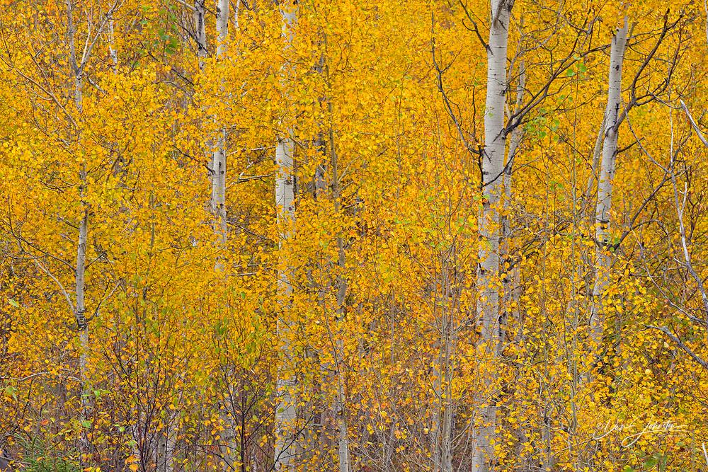 Autumn hardwood trees- aspen, Greater Sudbury (Lively), Ontario, Canada