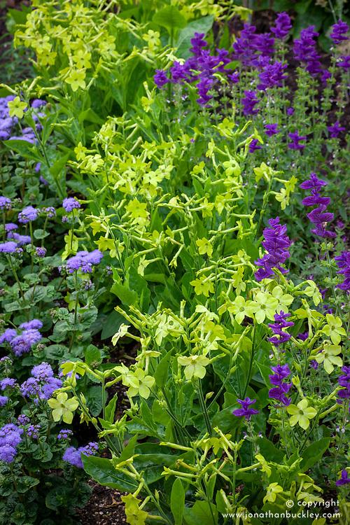 Nicotiana 'Lime Green' (Tobacco plant) with Salvia viridis 'Blue' and Ageratum houstonianum 'Blue Horizon'