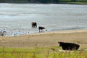Nederland, Nijmegen, 13-7-2016Wilde galloway runderen zoeken verkoeling bij het water van de rivier de Waal in de Millingerwaard . Foto: Flip Franssen