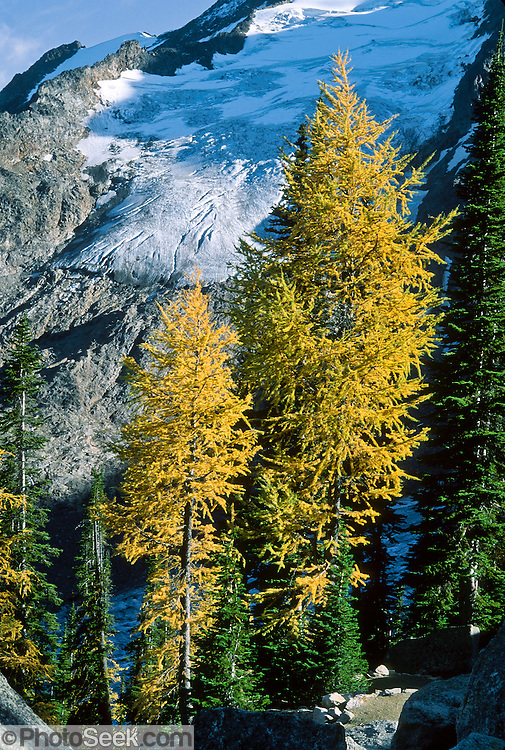 "Sextet Ridge Glacier and larch trees in the fall at Bugaboo Provincial Park, British Columbia, Canada. The Bugaboos are a range in the Purcell Mountains, which are a subrange of the Columbia Mountains, which are west of the Rocky Mountain Trench. (Some USA maps label the ""Percell Mountains"" where their southern limit protrudes into the states of Idaho and Montana.) The igneous Bugaboo intrusion of 135 million years ago cooled into hard crystalline granite and was scraped into spires by glaciers eroding surrounding rock dating from 600 million to 1 billion years ago. Published in ""Light Travel: Photography on the Go"" book by Tom Dempsey 2009, 2010."