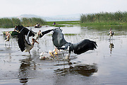 Ethiopia, Great white pelicans (Pelecanus onocrotalus) and Marabou Storks (Leptoptilos crumeniferus), fishing in a lake. Photographed in Lake Awassa, Awassa, Ethiopia.