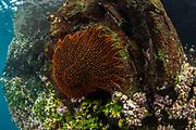 Sunstar (Heliaster sp.)<br /> Española Island<br /> Galapagos<br /> Pacific Ocean<br /> Ecuador, South America