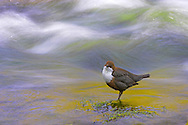 Dipper perched in flowing water, long exposure to show movement in water<br /> <br /> Ben Hall - tel: 0161 483 6311