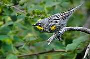 Yellow-rumped warbler, Capulin Spring, Sandia Mountains, New Mexico