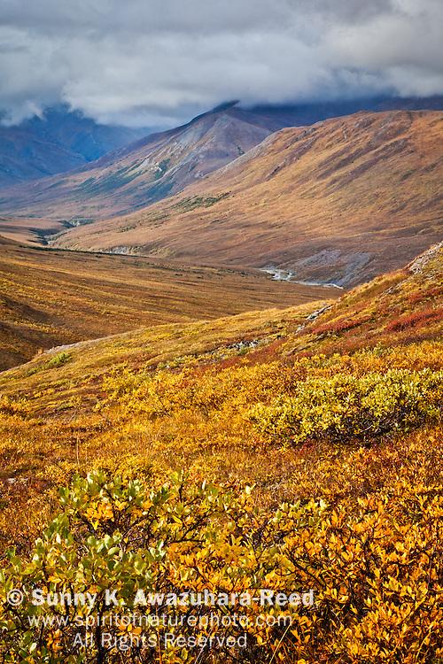 Overlook of Kuyuktuvuk Creek Valley in golden fall color, Gates of The Arctic National Park & Preserve, Arctic Alaska, Autumn.