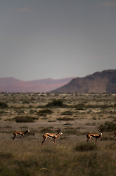 NAMIBIA NAUKLUFT PARK 19APR14 - Springbok stand in the grasslands of the Naukluft National Park, Namibia.<br /> <br /> The Namib-Naukluft, encompassing part of the Namib Desert,  is the largest game park in Africa and the fourth largest in the world.<br /> <br /> jre/Photo by Jiri Rezac<br /> <br /> © Jiri Rezac 2014