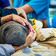 Veterinarian Lesly Cabrias performs surgery on an abandoned manatee calf at the Manatee Conservation Center in Puerto Rico. Image release available.